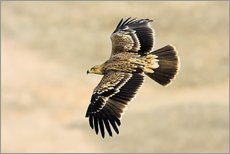 Wall sticker  Eastern imperial eagle in flight - M. Schaef