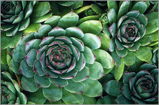 Wall sticker  'Hens and chicks' succulents - Kaj R. Svensson