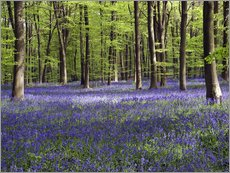 Gallery print  Bluebells in woodland - Adrian Bicker
