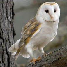 Gallery Print  Portrait photograph of a Barn Owl - Linda Wright
