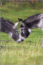 Gallery Print  Donkeys touching noses - Duncan Shaw