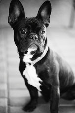 Gallery print  French Bulldog - Falko Follert