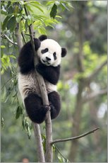 Gallery print  Panda in a Tree - Tony Camacho