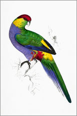 Wall sticker  Red capped Parakeet 1 - Edward Lear