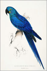 Wall sticker  Hyacinthine Macaw - Edward Lear