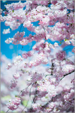 Wall sticker Cherry blossom in spring