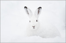 Wall sticker  Mountain hare in winter - Peter Wey