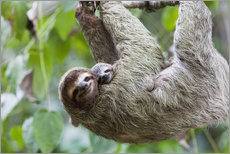 Wall sticker  Brown-throated Sloth and her baby - Jim Goldstein