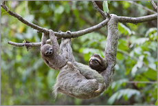 Wall sticker  Brown-throated sloth with baby - Jim Goldstein