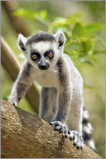 Wall sticker  Baby Ring-tailed lemur - Gallo Images