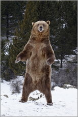 Wall sticker  Grizzly Bear standing in the snow - James Hager