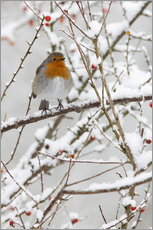 Gallery print  Robin, with berries in snow - Ann & Steve Toon
