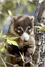Gallery print  White-nosed coati - James Hager