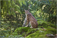 Gallery print  Lynx in the Bavarian National Park - Roberto Moiola