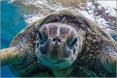 Gallery print  Green sea turtle - Michael Nolan