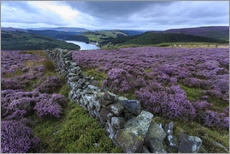 Wall sticker  Heather covered Bamford Moor and dry stone wall - Eleanor Scriven