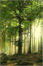 Gallery print  Sunlight in forest - Nadine Conrad