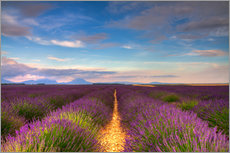 Gallery print  Fields of Lavender, Provence - Circumnavigation
