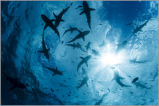 Wall sticker  Grey Reef Sharks - Dave Fleetham