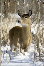 Gallery print  Whitetail Deer - Philippe Henry