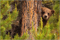 Wall Stickers  Grizzly bear behind a tree - Robert Postma