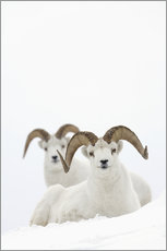Gallery print  Two sheep in the snow - Milo Burcham