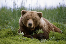 Wall sticker  Brown bear in the grass - Doug Lindstrand