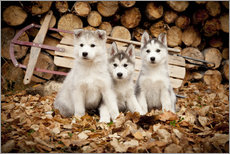 Wall sticker  Husky puppies - Jeff Schultz