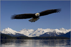 Wall sticker  Bald Eagle in Tongase National Forest - John Hyde