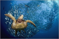 Wall sticker  Green sea turtle before Bali - Dave Fleetham