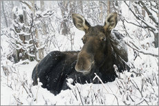 Wall sticker  Cow elk in a winter forest - Philippe Henry