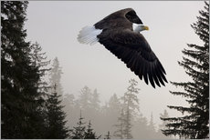 Gallery print  Bald Eagle in the Mist - John Hyde