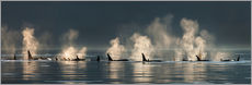 Wall Stickers  Killer whales on the water surface - John Hyde