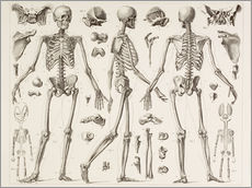 Wall sticker  Skeleton Of A Fully Grown Human - Wunderkammer Collection