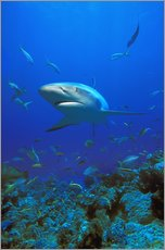 Wall sticker  Caribbean Reef Shark - Carson Ganci