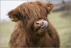 Gallery print  Highland Cattle Licking It's Lips - John Short