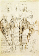 Gallery print  Muscles of shoulder, arm and neck - Leonardo da Vinci