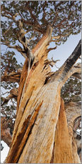 Gallery print  Ancient Pine - Rainer Mirau