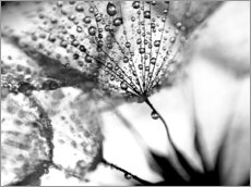 Gallery print  Dandelion Dew in Black and White - Julia Delgado