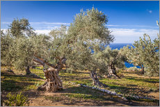 Wall sticker  Ancient olive trees in Mallorca (Spain) - Christian Müringer