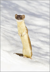 Wall sticker  Weasel in the snow - Elizabeth Boehm