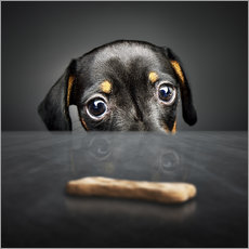 Gallery print  Dachshund puppy looking at out of reach treat - Johan Swanepoel