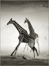 Gallery print  Giraffes running in the dust - Johan Swanepoel