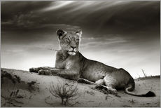 Gallery print  Lioness resting on top of a sand dune - Johan Swanepoel