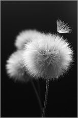 Wall sticker  Fluffy dandelions close-up