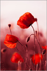 Wall sticker  Poppies at sunset