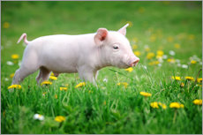 Wall sticker  Piglets on a spring meadow