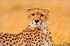 Gallery Print  Eavesdropping cheetah