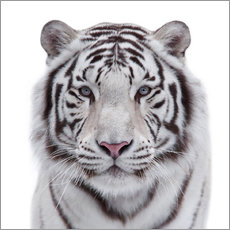 Wall sticker  The white tiger