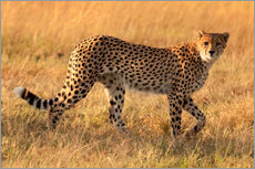 Gallery print  Cheetah looking for its prey